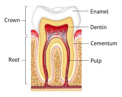 Tooth structure image enamel dentin and pulp
